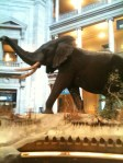Elephant in the American Museum of Natural History in Washington DC