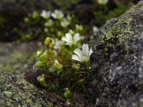 Alpine Flowers in the White Mountains of New Hampshire