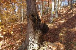 Guitar on Infected Tree Growth in Burr Oak State Park