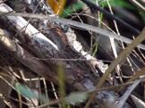 Camouflage Brown Anole in Orlando Wetlands Park
