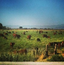 Cows in Fallon, Nevada
