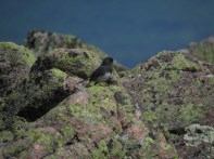 Dark Eyed Junco on the Summit of Mount Katahdin in Maine