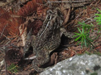 Fowler's Toad in the White Mountains of New Hampshire