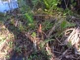 Golden Silk Orb Weaver Spider in Orlando Wetlands Park