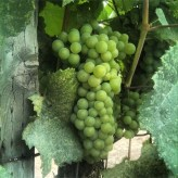 Grapes at a Winery in Napa Valley, California