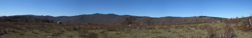 Cattle in Grayson Highlands, Virginia Panorama