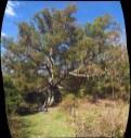 Keffer Oak Near Newport, Virginia Panorama