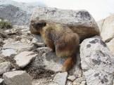 Marmot High in the Alpine