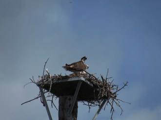 Osprey Nest in the Florida Keys