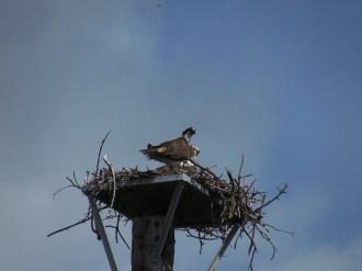 Osprey Nest in the Florida Keys