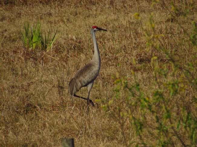 Sandhill Crane along the Kissimmee River