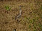 Sandhill Crane along the Kissimmee River