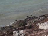 Sandpipers in Bahia Honda State Park in the Florida Keys