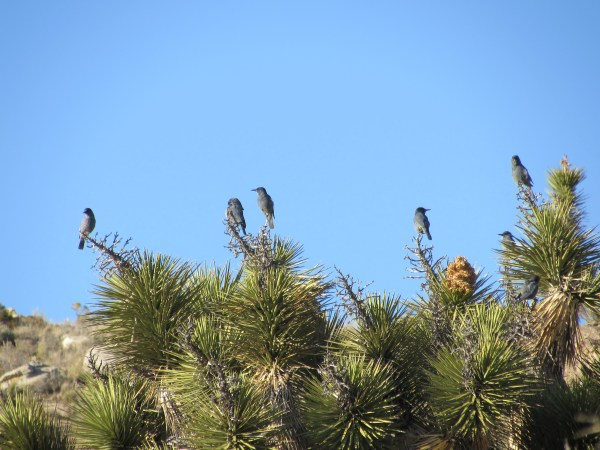Scrub Jays Sit on a Cactus in the Mojave Desert