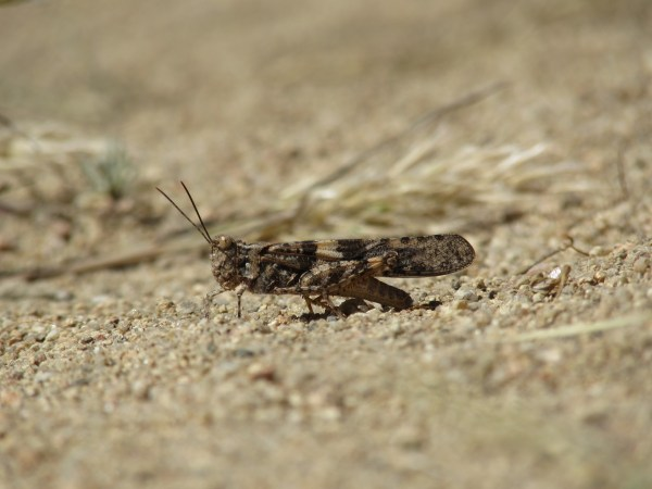 Grasshopper in the Southern Sierra Nevada