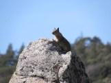 Ground Squirrel in the Southern Sierra Nevada