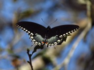 Spicebush Swallowtail Butterfly Along the Kissimmee River