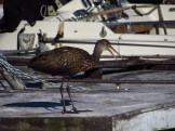 Squawking Limpkin in Clewiston