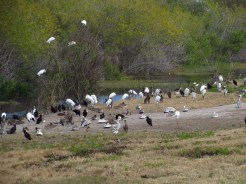 Tons of Bird Species along the Kissimmee River