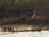White Heron on the Southern Glades Trail