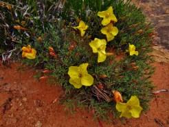Evening Primrose in Big Spring Canyon