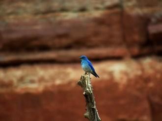 Mountain Bluebird in Cyclone Canyon