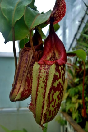 Pitcher Plant in the Greenhouse at the Dunedin Botanic Garden
