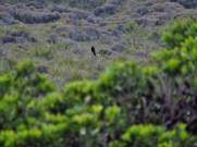 Eurasian Blackbird at Cape Reinga