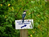 Sacred Kingfisher in Russell