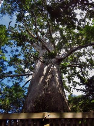 Tane Moana Kauri Panorama