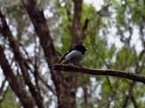 Tomtit in the Herekino Forest