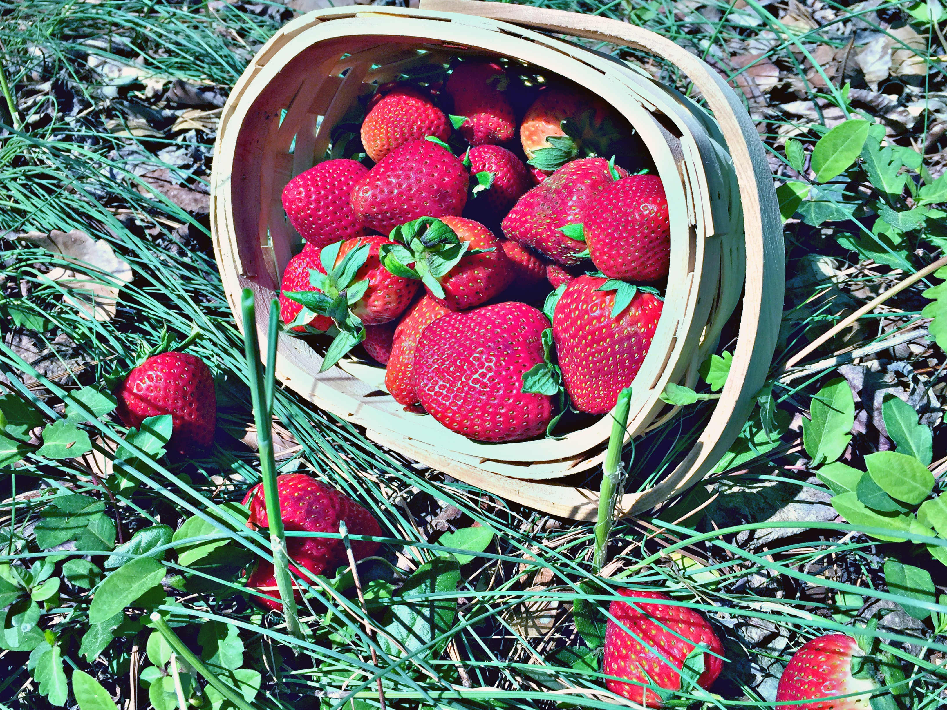 Five Best Places To Pick Strawberries In North Carolina