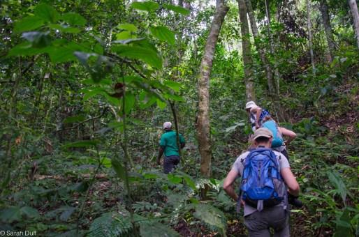 Chimp tracking in Karinzu Forest Reserve