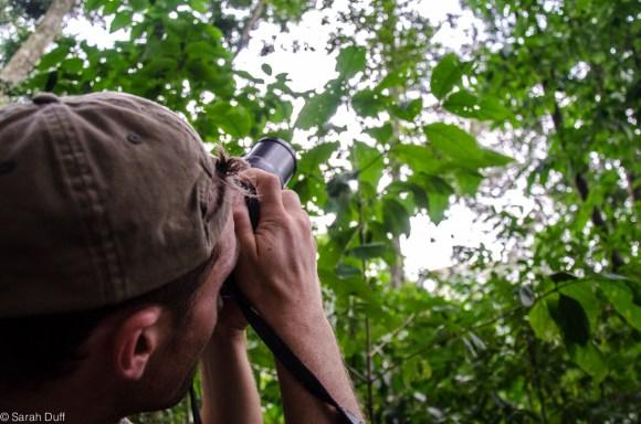 Chimp tracking in Uganda