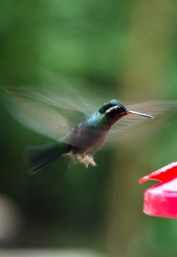 Hummingbird garden, Monteverde Cloud Forest, Costa Rica