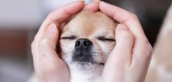 Chihuahua eye closed.