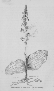 Heimans keverorchis