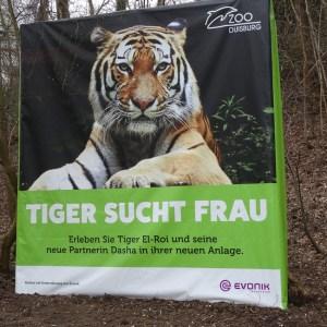 Eröffnung des Tigergeheges im Zoo Duisburg. Foto: Petra Grünendahl