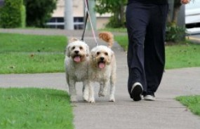 pasear-más-de-un-perro-a-la-vez