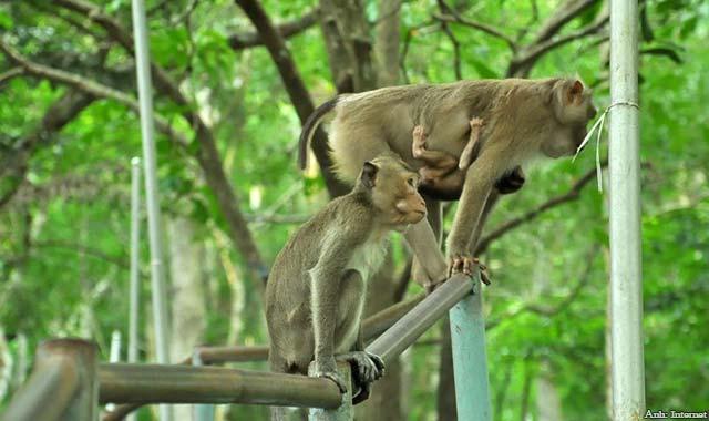 Đàn khỉ hàng trăm con trên núi Tà Cú