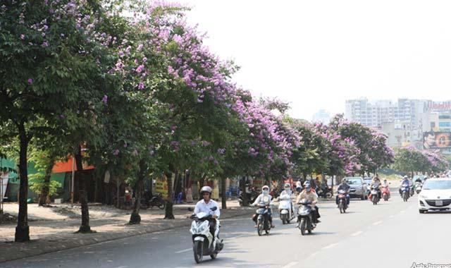 Hoa bằng lăng trên phố Hà Nội