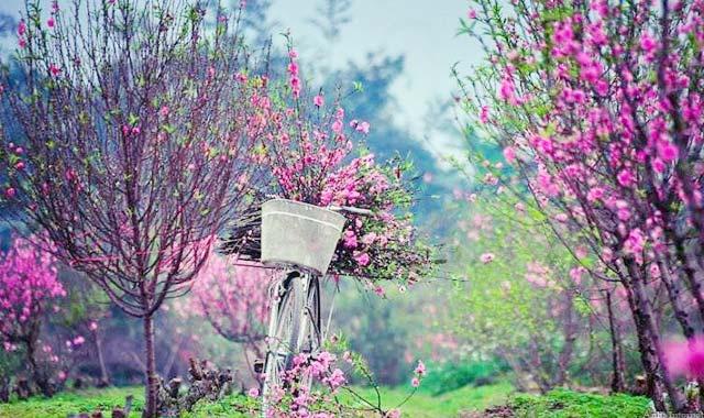 Hoa đào mùa xuân 12 mùa hoa