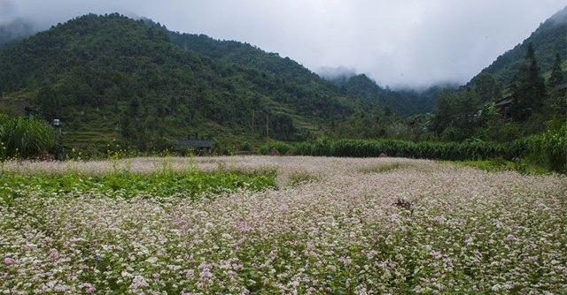 Lễ hội hoa tam giác mạch Hà Giang