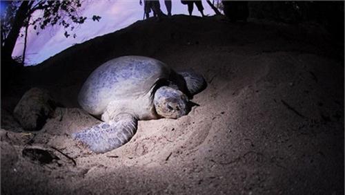 rùa đẻ trứng côn đảo
