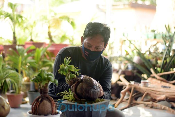Bonsai Kelapa Bisnis Kreatif Ditengah Pandemi Dulohupa Id