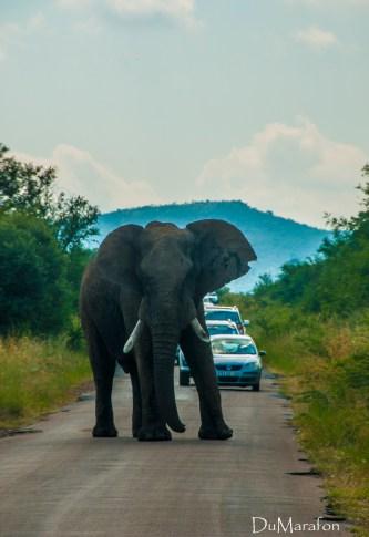 Cara a cara com um grande elefante africano.