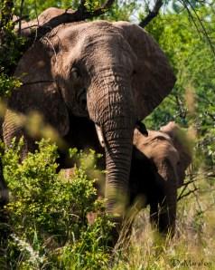 Mamãe e bebê elefante.