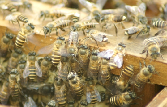 Bees-at-Gombizau