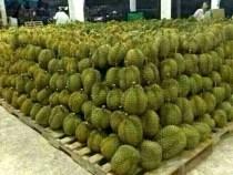 Durian Fiesta, Tuaran