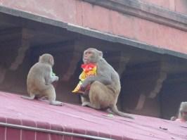 healthy-monkeys
